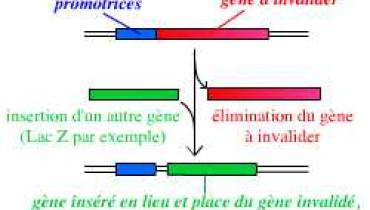 exemple de gene