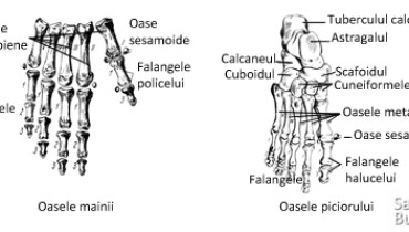 exemple de oase sesamoide