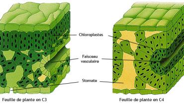 exemple de plante c4